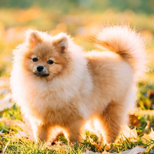 Young Red Puppy Pomeranian Spitz Puppy Dog Posing Outdoor In Aut
